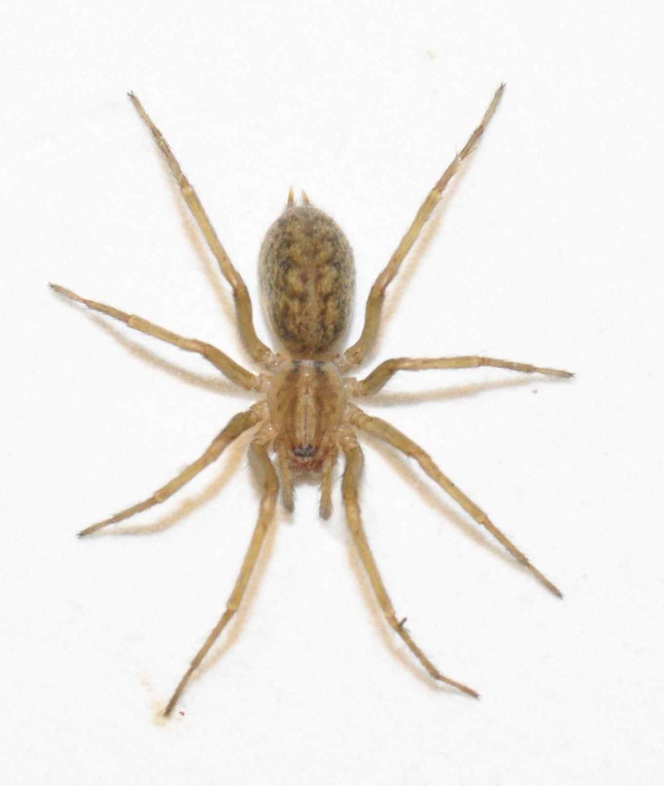 Arañas del noroeste del Pacífico