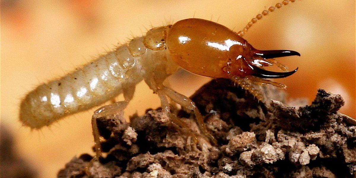 Imágenes de termitas soldado